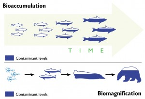 bioaccumulation_graphic